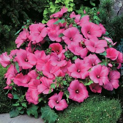 Lavatera trimestris 'Twins Hot Pink'