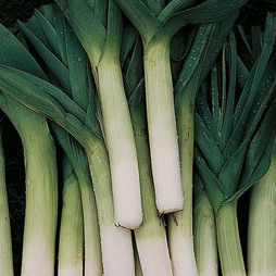 Leek 'Autumn Giant 2 - Porvite'