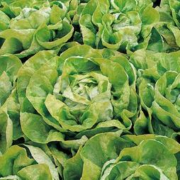 Lettuce 'Arctic King' (Butterhead)