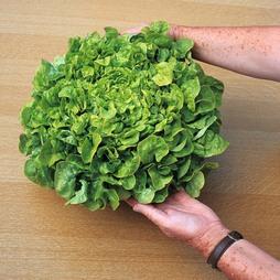 Lettuce 'Salad Bowl' (Loose-Leaf)