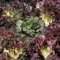 Lettuce 'Colour Shades Mixed' (Loose-Leaf)