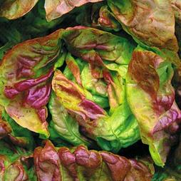 Lettuce 'Yugoslavian Red' (Butterhead)
