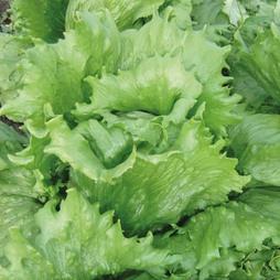 Lettuce 'Great Lakes' (Iceberg/Crisphead) - Heritage