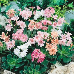 Lewisia cotyledon 'Galaxy Mixed'