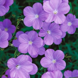Linum narbonense 'Heavenly Blue'