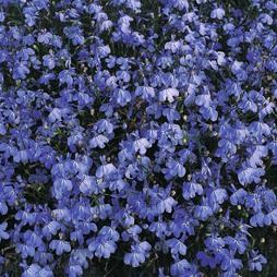Lobelia erinus 'Blue Cascade'