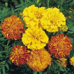 Marigold 'Bonita Mixed'
