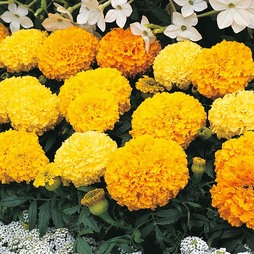 Marigold 'Sunspot Mixed'