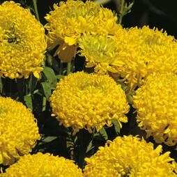 Marigold 'Lemon Mum'