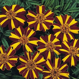 Marigold 'Striped Marvel'