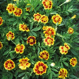 Marigold 'Single Legion of Honour'