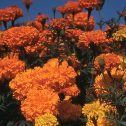 Marigold 'Crackerjack Mixed'