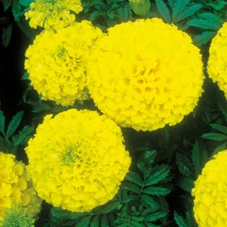 Marigold 'Discovery Yellow' F1 Hybrid