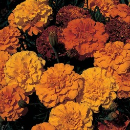 Marigold 'Queen Series Mixed'