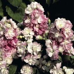 Stock 'Appleblossom'