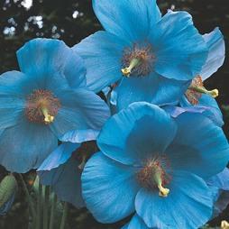 Meconopsis baileyi 'Blue'