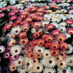 Mesembryanthemum 'Sparkles Mixed'