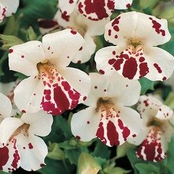 Mimulus x hybridus 'Monkey Magic' F1 Hybrid