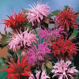 Monarda didyma 'T&M Superb Mixed'
