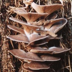 Mushroom 'Oyster'