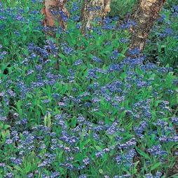 Myosotis sylvatica 'Royal Blue Improved'