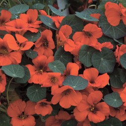 Nasturtium 'Princess of India'