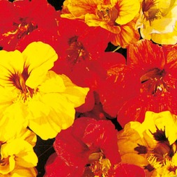 Nasturtium 'Double Gleam Mixed'