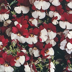Nemesia 'Mello Red & White'