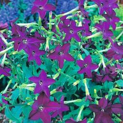Nicotiana x sanderae 'Perfume Deep Purple' F1 Hybrid
