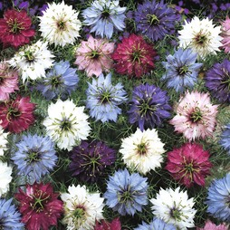 Nigella damascena 'Persian Jewels'