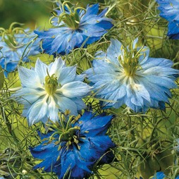 Nigella damascena 'Moody Blues'