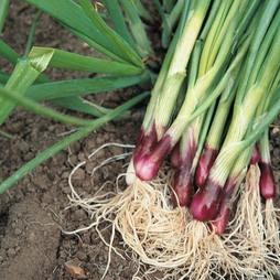 Spring Onion 'Lilia' (Red Onion)