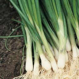 Onion 'Performer' (Bunching Onion)