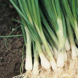 Onion 'Performer' (Bunching Onion)