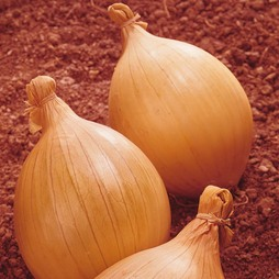 Onion 'Ailsa Craig' (Giant/Show Vegetable)