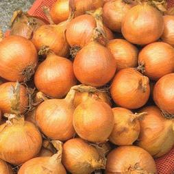 Onion 'Marco' F1 Hybrid