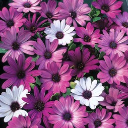 Osteospermum hybrida 'Passion Mixed'