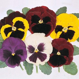 Pansy 'Majestic Giants Mixed' F1 Hybrid