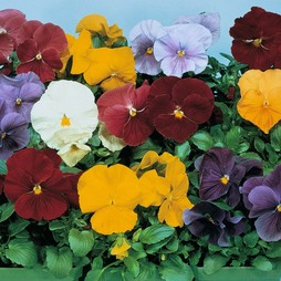 Pansy 'Clear Crystal Mixed'