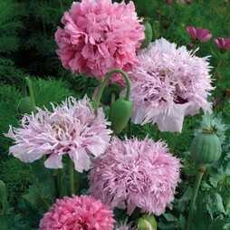 Poppy 'Tallulah Belle Blush'