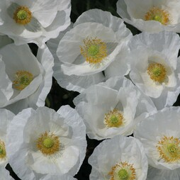 Poppy 'Bridal White'