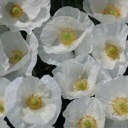 Poppy 'Bridal White'