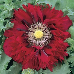 Poppy 'Seriously Scarlet'
