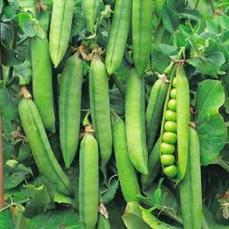 Pea 'Rondo' (Maincrop)