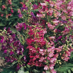 Penstemon barbatus 'Cambridge Mixture'