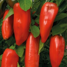 Sweet Pepper 'Tasty Grill Red' F1 Hybrid