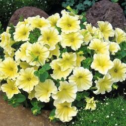 Petunia grandiflora 'Limoncello' F1 Hybrid