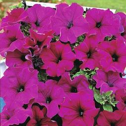 Petunia grandiflora pendula 'Lady Purple' F1 Hybrid