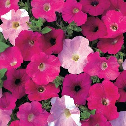 Petunia 'Waves Mixed' F1 Hybrid