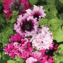 Petunia hybrida grandiflora 'Superbissima'